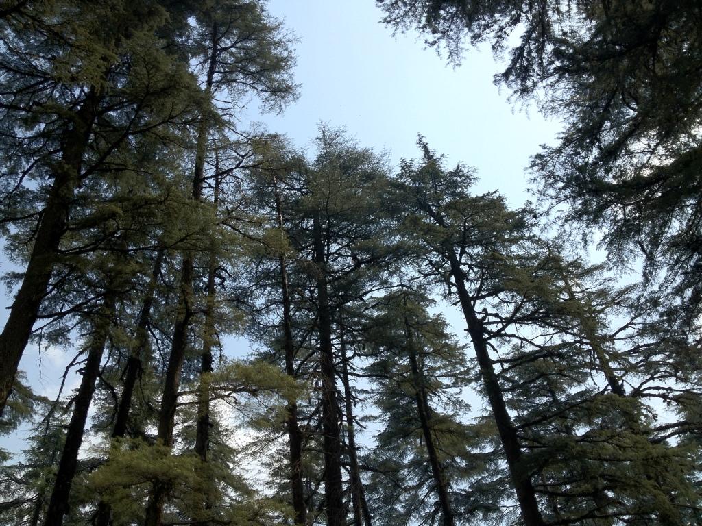 Himalayan trees